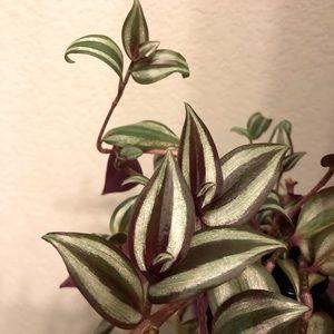 Wandering Jew Cutting Live Plant